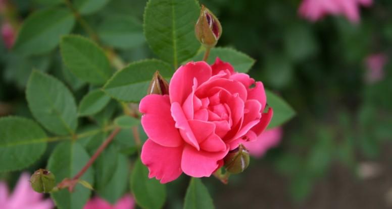 rosey future